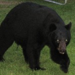 Black Bear - Friendly visitor looking for berries.